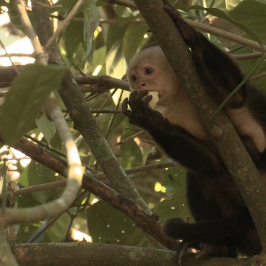 White Face Capuchin Monkey Wildlife - Rincon de la Vieja National Park Tours - Native's Way Costa Rica - Tamarindo Tours and Transfers