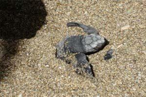 Tamarindo Turtle Nesting Watching Tour - Native's Way Costa Rica - Tamarindo Tours & Transfers